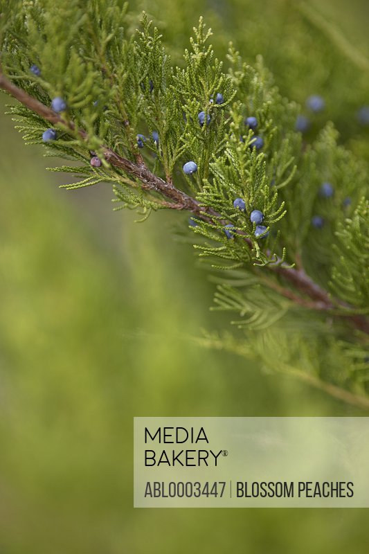 Conifer Tree Branch with Berries