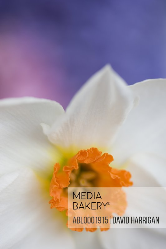 Detail of a narcissus flower, Narcissus Geranium Tazetta