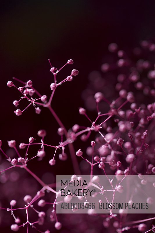 Bright Pink Twigs with Buds