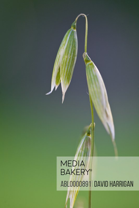 Close up of wild oat - Avena fatua