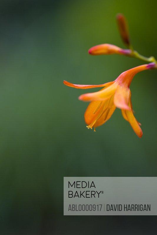 Close up of an orange crocosmia flower - Crocosmia