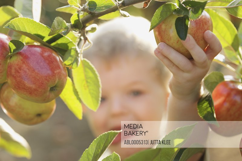 Close up of a young boy picking an apple from an apple tree