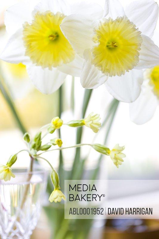 Daffodils and primrose flowers