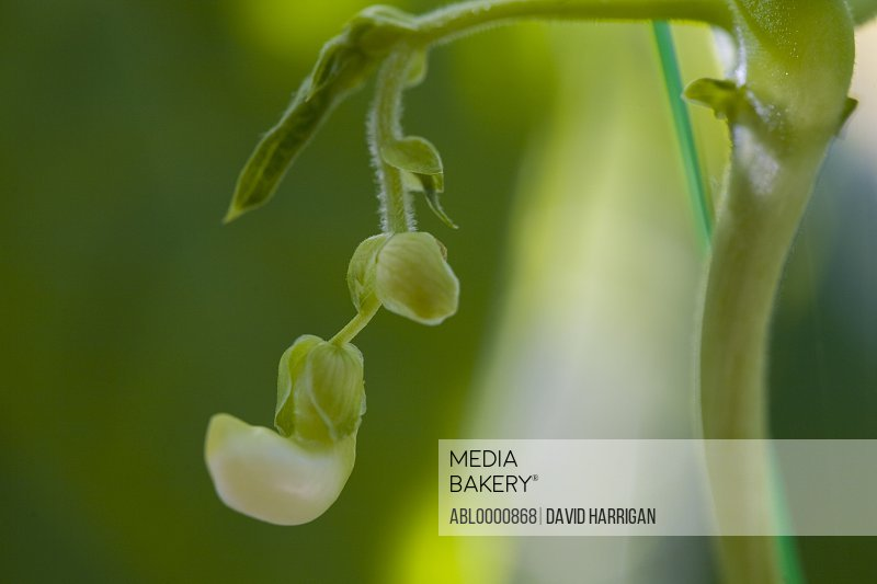 Close up of a white sweet pea flower - Lathyrus odoratus