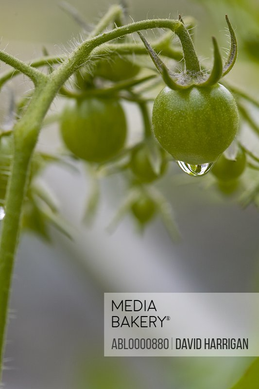 Close up of unripe cherry tomatoes on the vine