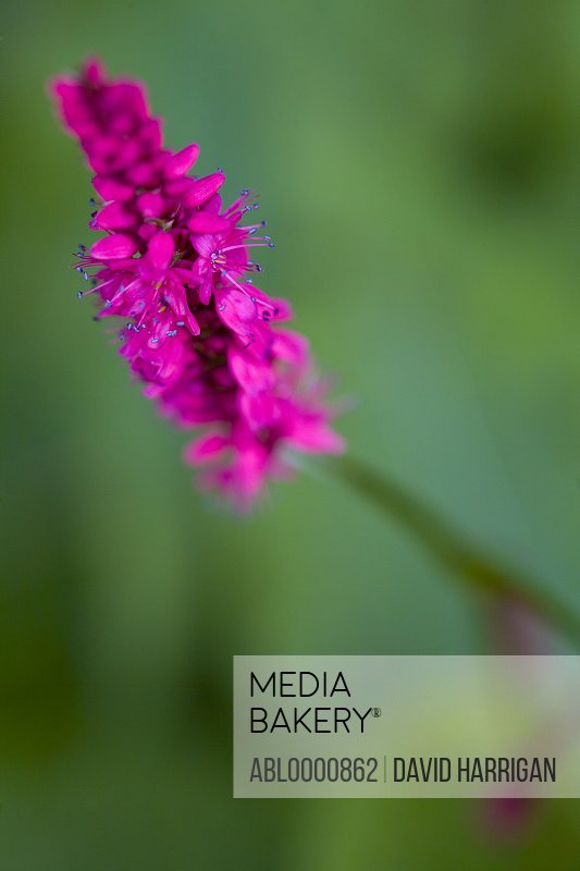 Bright pink polygonum flower