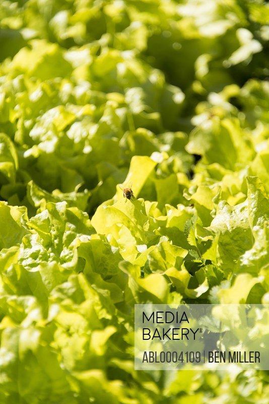 Bee on Lettuce Leaves, Full Frame