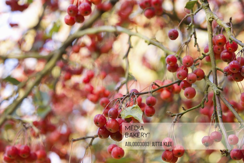 Crab Apple Tree, Close-up view