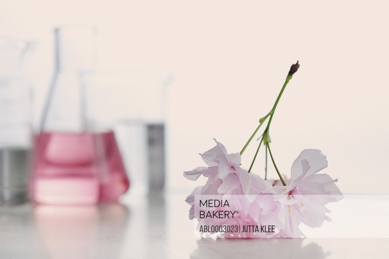 Close up of Pink Cut Flower with Laboratory Glassware