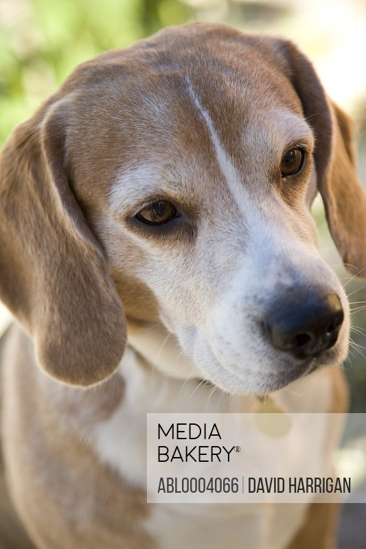 Portrait of a beagle