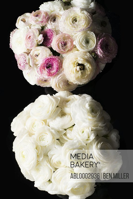 Bouquets of White and Pink Persian Buttercup Flowers