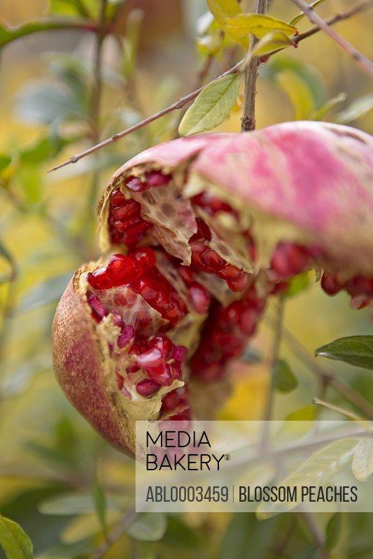 Open Pomegranate on Tree
