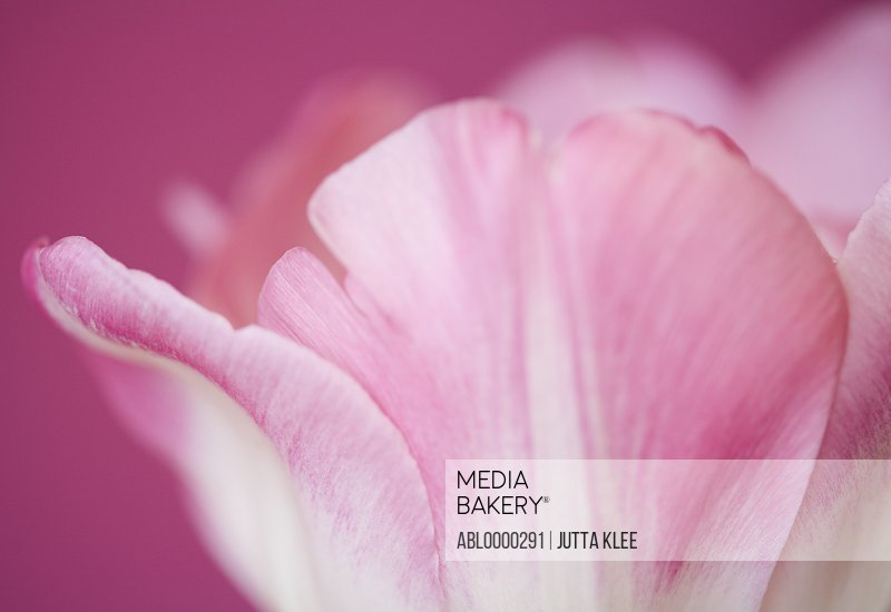Extreme close up of a pink tulip Tulipa