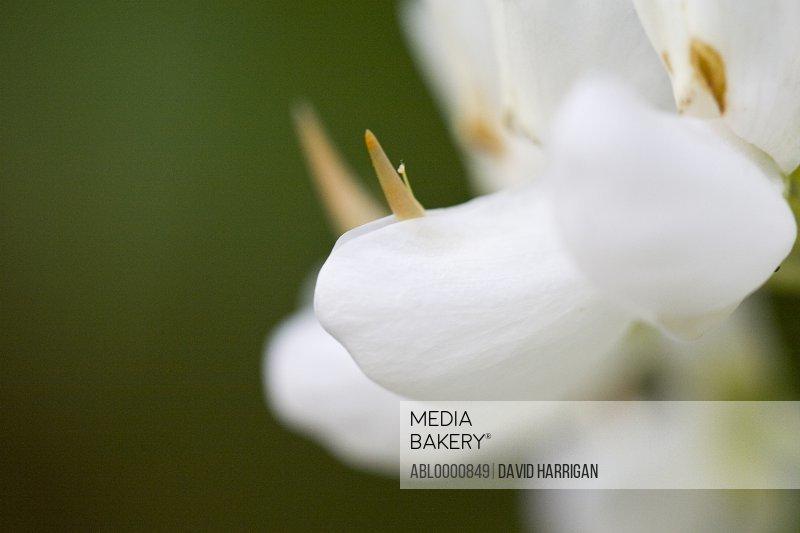 White lupin flower - Lupinus