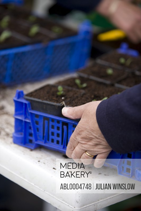 Close up of woman hands holding a plastic crate with seedling pots