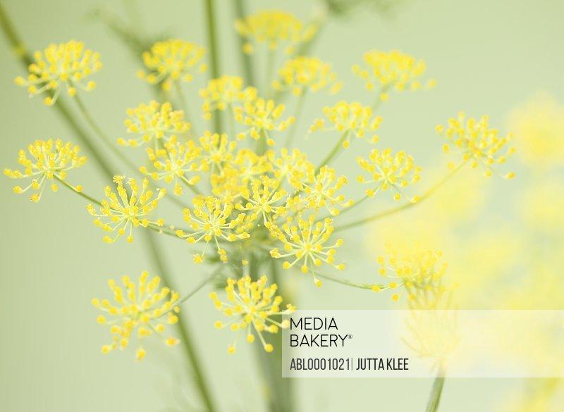 Fennel blossom - Foeniculum vulgare