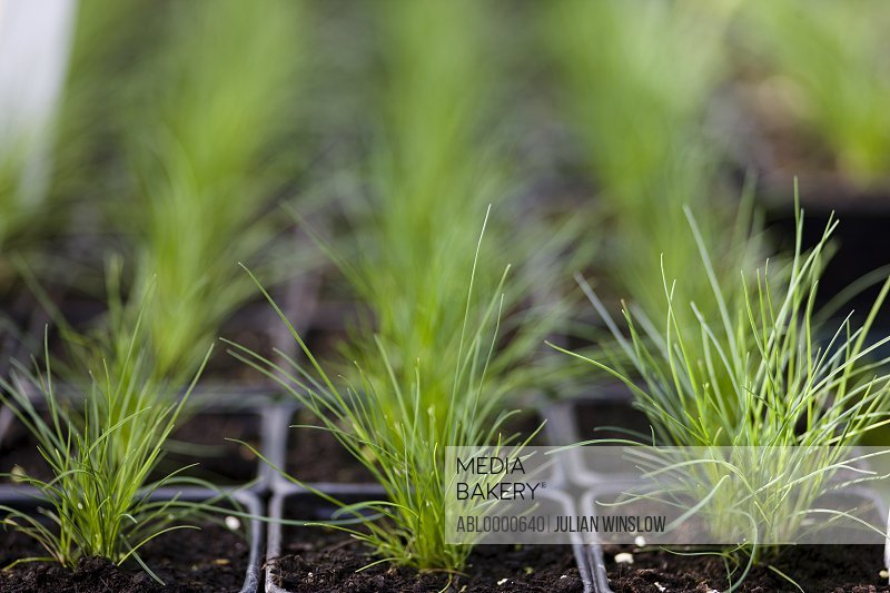 Close up of chives seedlings