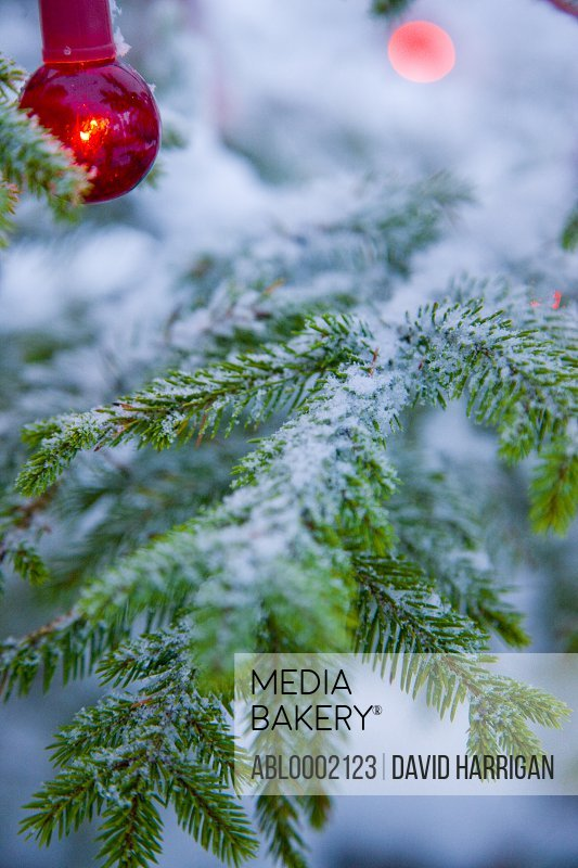 Red Christmas Light Hanging from Fir Tree Covered in Snow - Close-up view