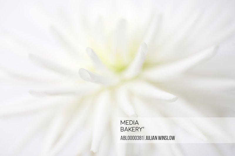 Extreme close up of white dahlia