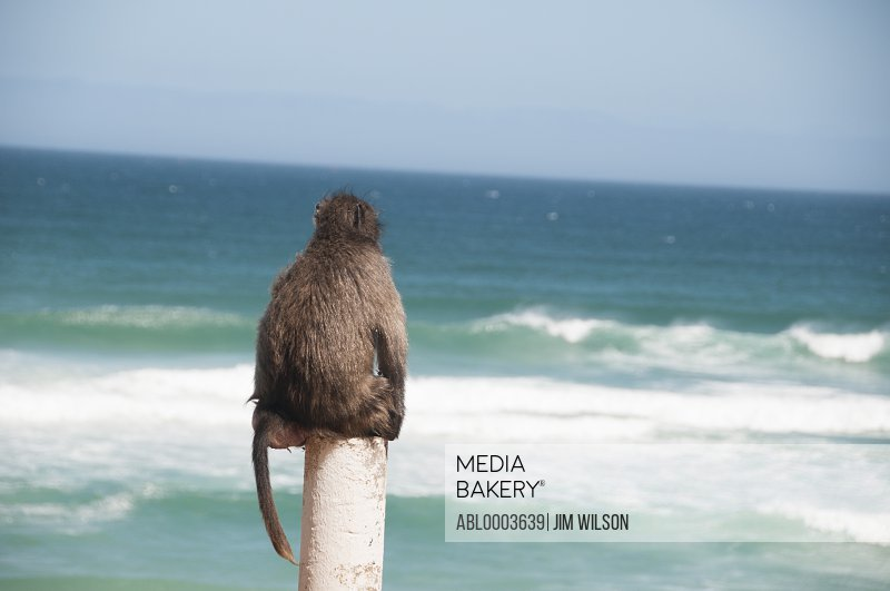 Back View of Baboon Looking at Sea, Cape Peninsula, South Africa
