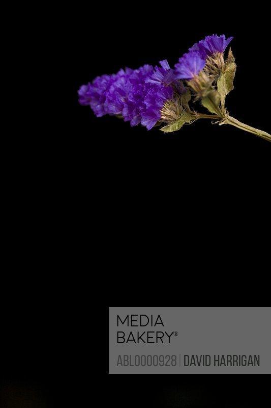 Close up of a purple sea lavender flower - Limonium
