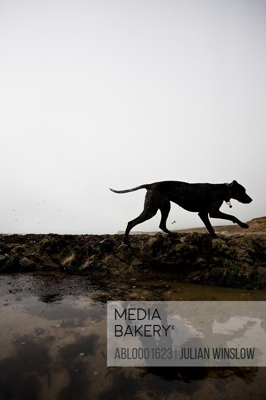 Profile of a dog walking by a beach puddle