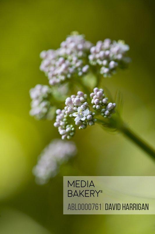 Garden valerian - valeriana officinalis
