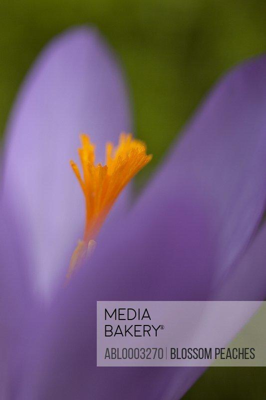 Purple Crocus Petals, Close-up View
