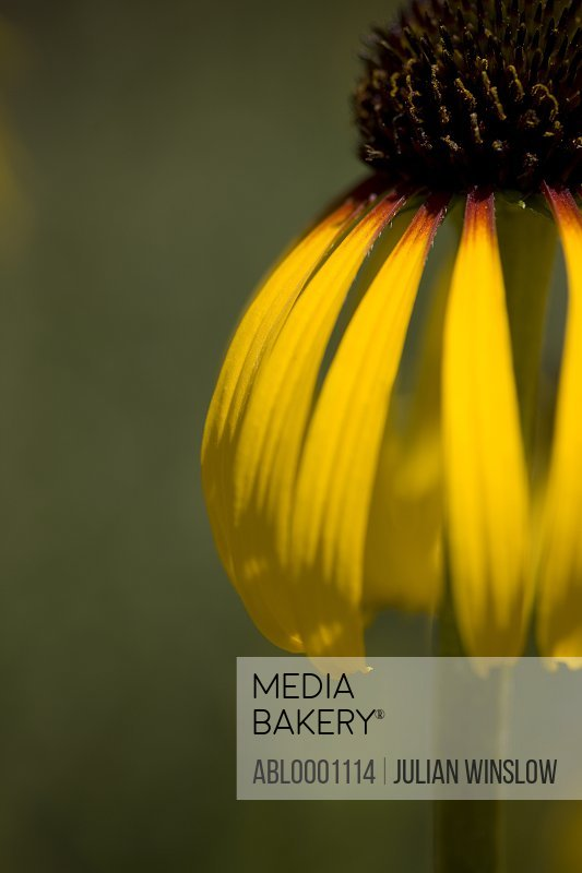 Close up of an echinacea flower - Echinacea paradoxa