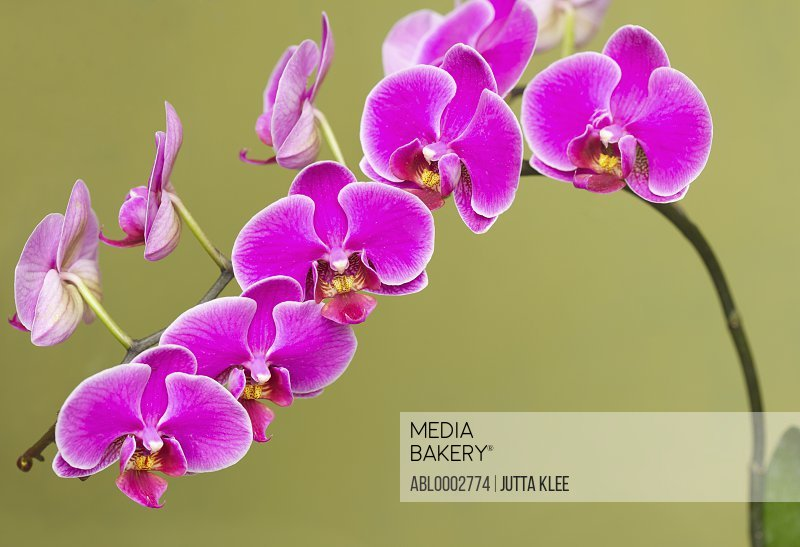 Bright Pink Orchids