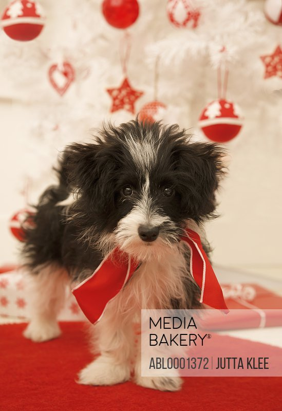 Black and white puppy standing by a Christmas tree