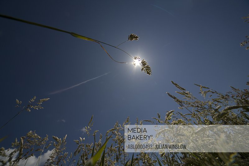 Close up of grass flower head across sun and  against blue sky