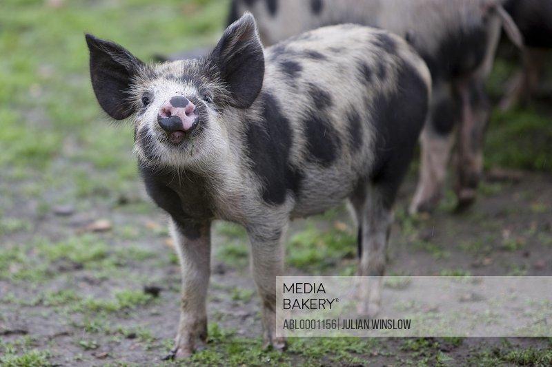Spotty piglet