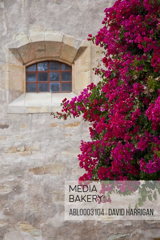 Pink Bougainvillea on Outside Wall