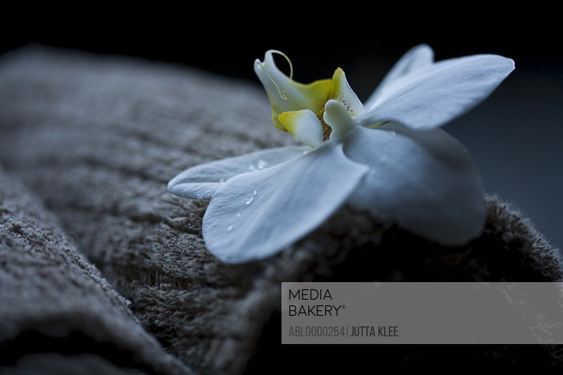 Close up of white flower on brown towel