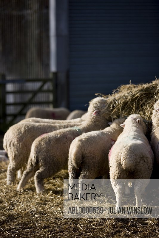 Sheep feeding on straw