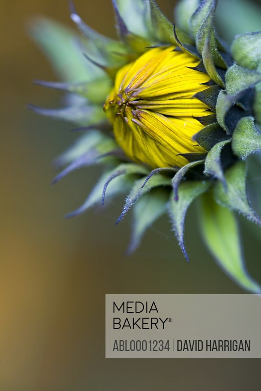 Close up of a sunflower bud - Helianthus annuus
