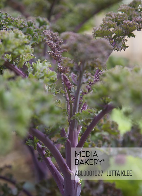 Purple kale and stalks