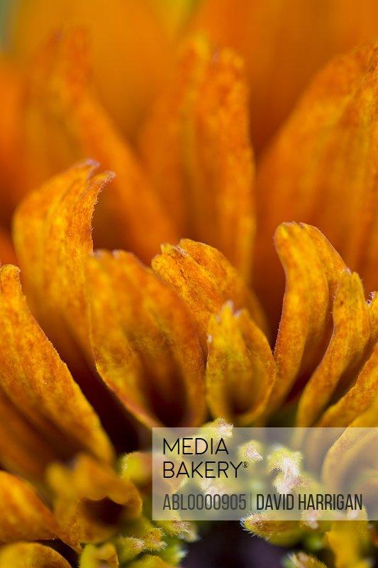 Extreme close up of a black-eyed susan - Rudbeckia hirta