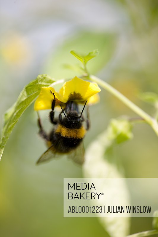 Close up of a bumblebee feeding on a flower - Bombus