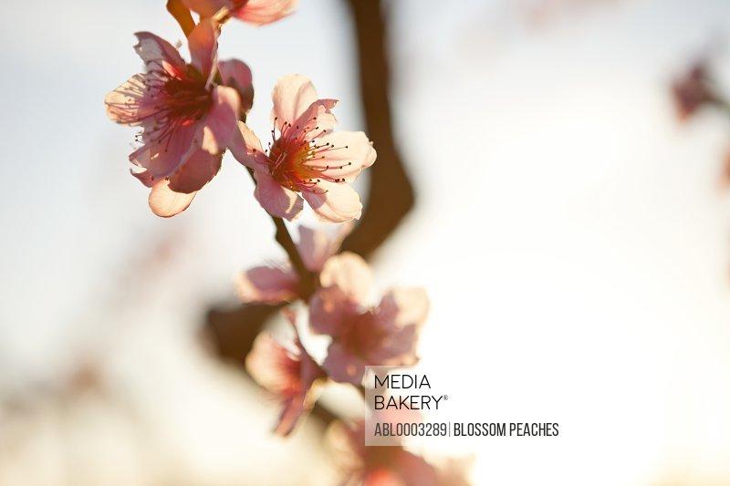 Peach Blossom, Close-up View