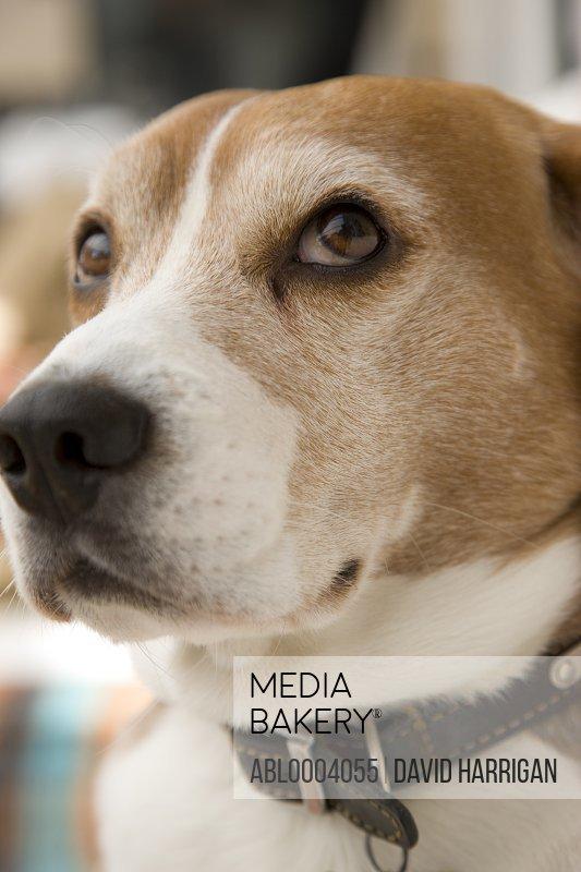 Close up of a beagle