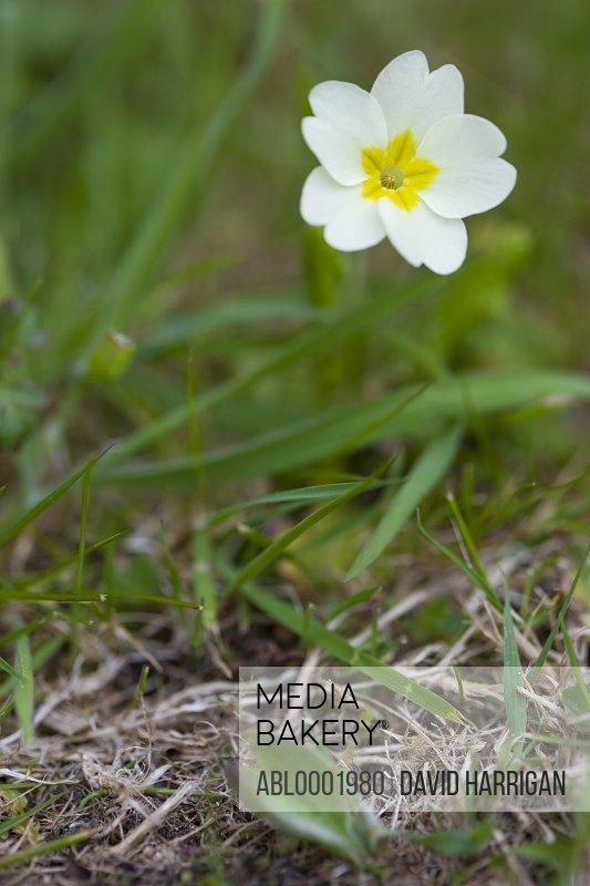 Primrose flower, Primula vulgaris