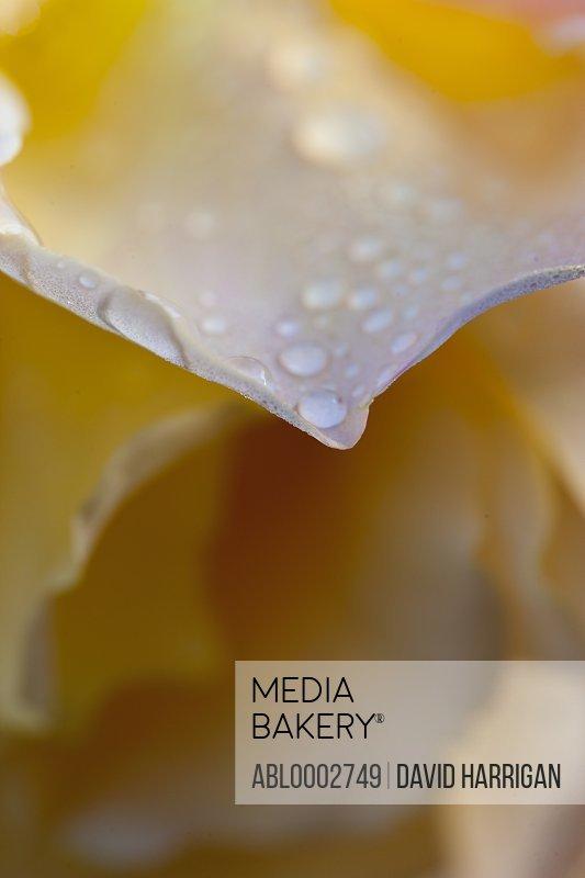 Rain Drops on Yellow Rose Petals
