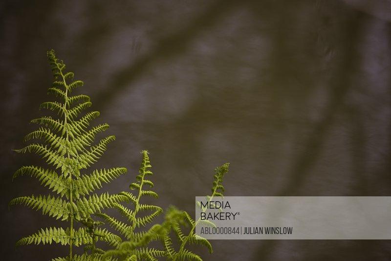 Fern leaves - Pteridophyta