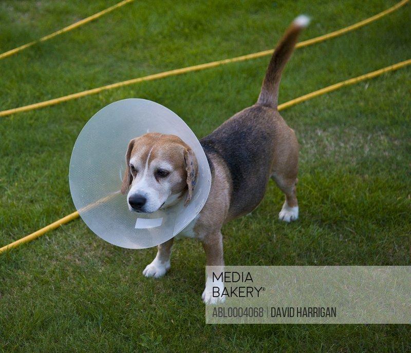 Beagle Dog Wearing Buster Collar