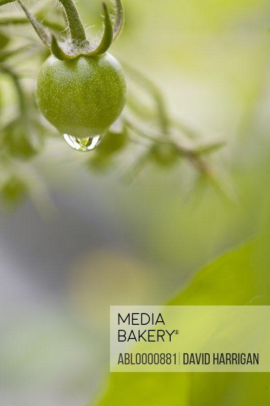 Close up of unripe cherry tomatoes on the vine with water drop