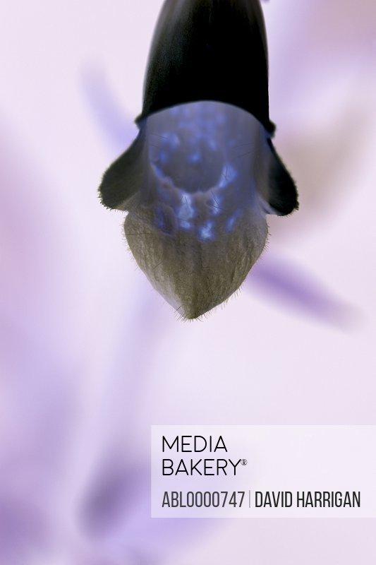 Negative of white foxglove flower - digitalis