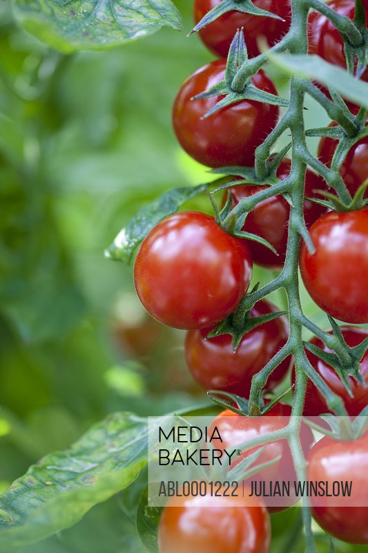Close up of tomatoes on the vine