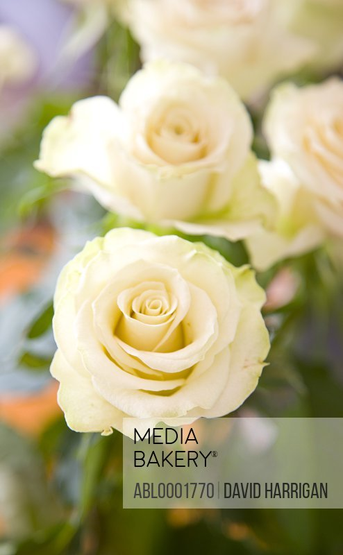 Close up of ivory roses